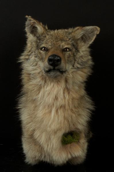 Innamorato_LG_Coyote