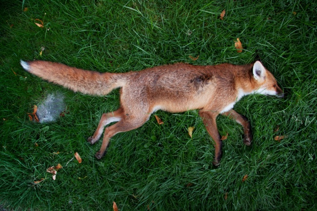 8_fox