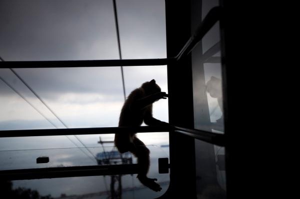 14 Agosto 2013 - Joana Bourgard - Macaco no teleferico de Gibraltar
