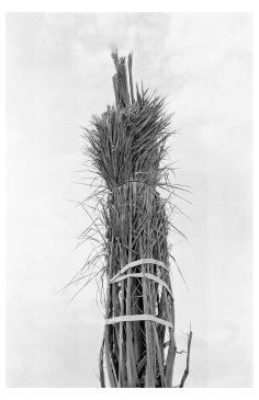 © Natalia Poniatowska, from 'Twelve Dying Palm Tree'.